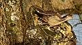 Gewone oesterzwam (Pleurotus ostreatus). Paddenstoel op els 01.JPG