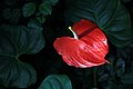 Gfp-red-tailflower.jpg