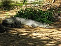 Gharial at Mysore Zoo, India.jpg