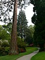 Giant Conifers at Bodnant Gardens - geograph.org.uk - 804542.jpg