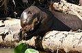 Giant Otter (Pteronura brasiliensis) eating a Sailfin Catfish (Pterygoplichthys sp.) - Flickr - berniedup (1).jpg