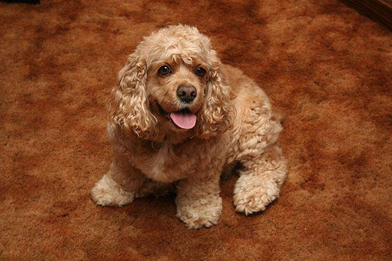 Lovely American Cocker Spaniel breed dog