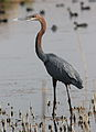 Goliath Heron, Ardea goliath at Marievale Nature Reserve, Gauteng, South Africa (20955452346).jpg