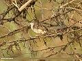 Graceful Prinia (Prinia gracilis) (33156524285).jpg