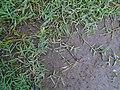 Gramilla o gramón poácea estolones.JPG