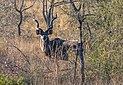 Gran kudú (Tragelaphus strepsiceros), parque nacional Kruger, Sudáfrica, 2018-07-26, DD 15.jpg