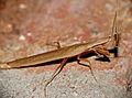 Grass Mantid (Pyrgomantis rhodesica) (16503277165).jpg
