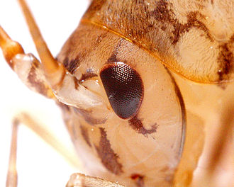 Rhaphidophoridae - Image: Grasshoppermacro