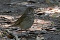 Gray-cheeked Thrush Sabine Woods High Island TX 2018-04-26 09-09-11 (42090546411).jpg