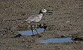 Gray-tailed Tattler (Tringa brevipes) (31215802432).jpg