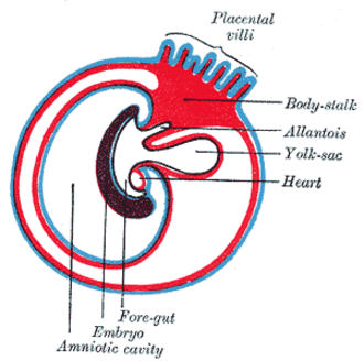 Foregut - Diagram showing the expansion of amnion and delimitation of the umbilicus.