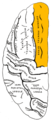 Gray725 superior frontal gyrus.png