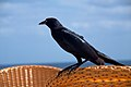 Great-tailed Grackle – Quiscalus mexicanus (5596022146).jpg