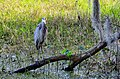Great Blue Heron - panoramio (7).jpg