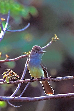 Great Crested Flycatcher in back of Bowman's Beach, Sanibel.jpg