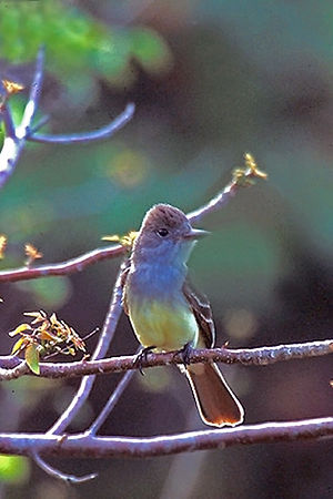 Great crested flycatcher - Migrating in April