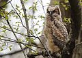 Great Horned Owl youngster - 1st day of emergence (25776540183).jpg
