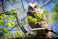 Great Horned Owlet (Bubo virginianus) (17038632068).jpg
