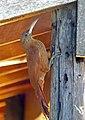 Great Rufous Woodcreeper (Xiphocolaptes major) (28738826354).jpg