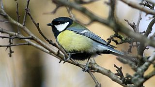 Great Tit (Parus major) (9).jpg