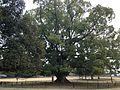 Great camphor tree in Nara Park.JPG