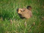 Fil:Greater Prairie Chicken -male displaying and spinning.theora.ogv