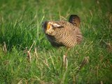 ファイル:Greater Prairie Chicken -male displaying and spinning.theora.ogv