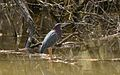 Green Heron (FOY) at Malden Park in Windsor, Ontario (34141064602).jpg