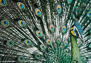 Green peafowl - Male in display, Pavo muticus imperator