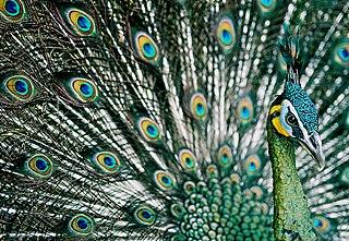 Green peafowl Species of bird