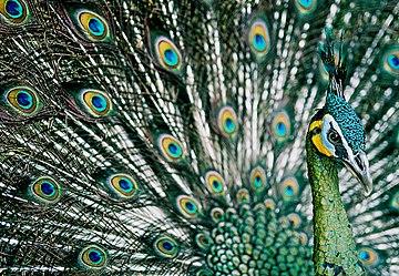 https://upload.wikimedia.org/wikipedia/commons/thumb/9/9a/Green_Peafowl%2C_Hanoi.jpg/360px-Green_Peafowl%2C_Hanoi.jpg