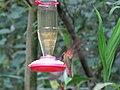 Green Violetear Hummingbirds - Inkaterra Machu Picchu Pueblo Hotel and Nature Reserve - Aguas Calientes, Peru (4876293754).jpg