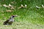 Green Woodpecker (34520085764).jpg