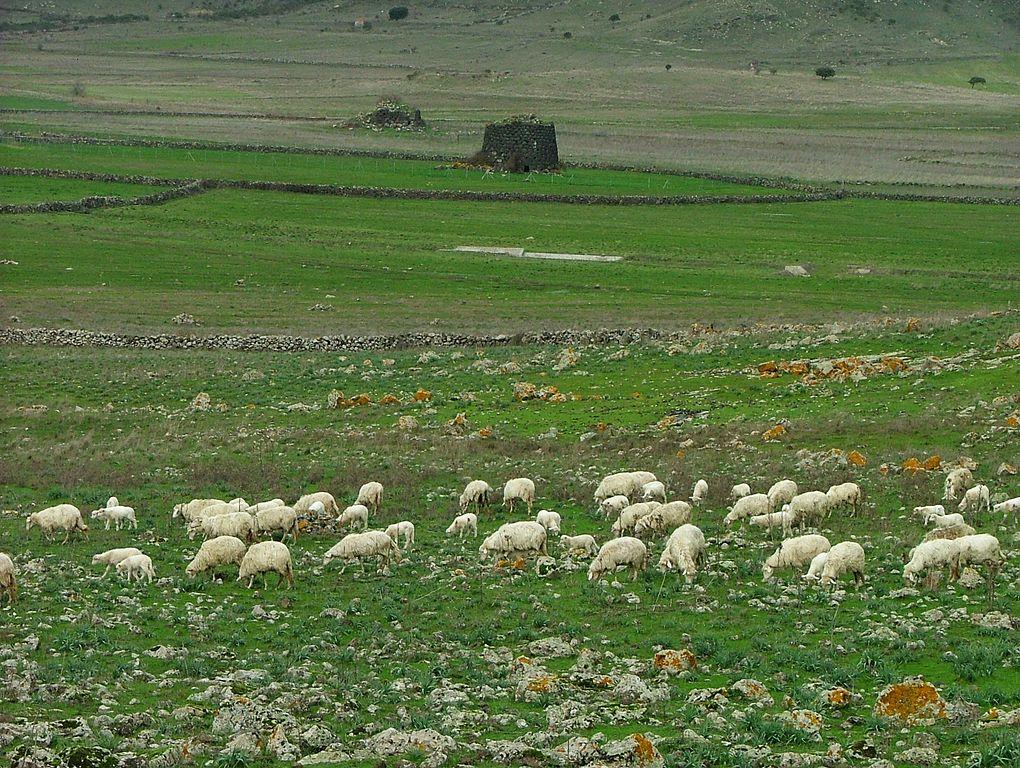 https://upload.wikimedia.org/wikipedia/commons/thumb/9/9a/Gregge_di_pecore%2C_sullo_sfondo_Nuraghe_Longu_e_Nuraghe_culzu.JPG/1020px-Gregge_di_pecore%2C_sullo_sfondo_Nuraghe_Longu_e_Nuraghe_culzu.JPG