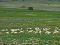Gregge di pecore, sullo sfondo Nuraghe Longu e Nuraghe culzu.JPG