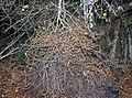 Grewia flavescens, heksebesem, Waterberg Natuurpraal, a.jpg