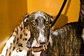 Greyhound (7982305258).jpg