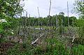Grosses Torfmoor Birken.jpg