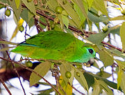 Green parrot with yellow-flecked wings and bright blue-green face