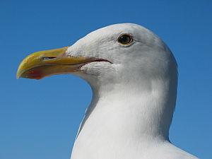 Gull portrait ca usa.jpg