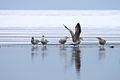 Gulls (3175127369).jpg