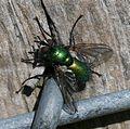 Gymnocheta viridis - Flickr - S. Rae (3).jpg