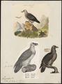 Gypaëtus barbatus - 1700-1880 - Print - Iconographia Zoologica - Special Collections University of Amsterdam - UBA01 IZ18100017.tif