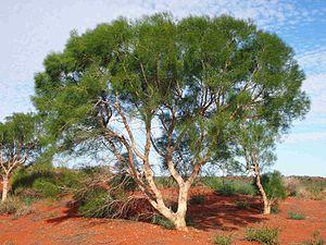 Gyrostemonaceae - Gyrostemon ramulosus