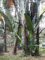 HK 中環 Central 遮打花園 Chater Garden flora green leaves n trees March 2020 SS2 64.jpg
