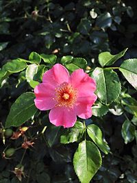 HK Rosa Rubiginosa red yellow green leaves 01 Sweet briar Eglantine Rose.jpg