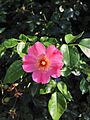 HK Rosa Rubiginosa red yellow green leaves 01 Sweet briar Eglantine Rose.jpg