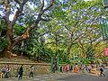 HK TST 尖沙咀 Haiphong Road 海防道 35 Camphora tree Mar-2013.JPG