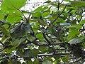 Haldinia cordifolia-2-mundanthurai-Tirunelveli-India.jpg