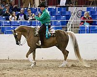 Photograph of a part-Arabian horse being ridden at a show by a man in western clothing